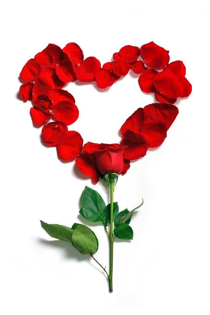 rose, petals, floral
